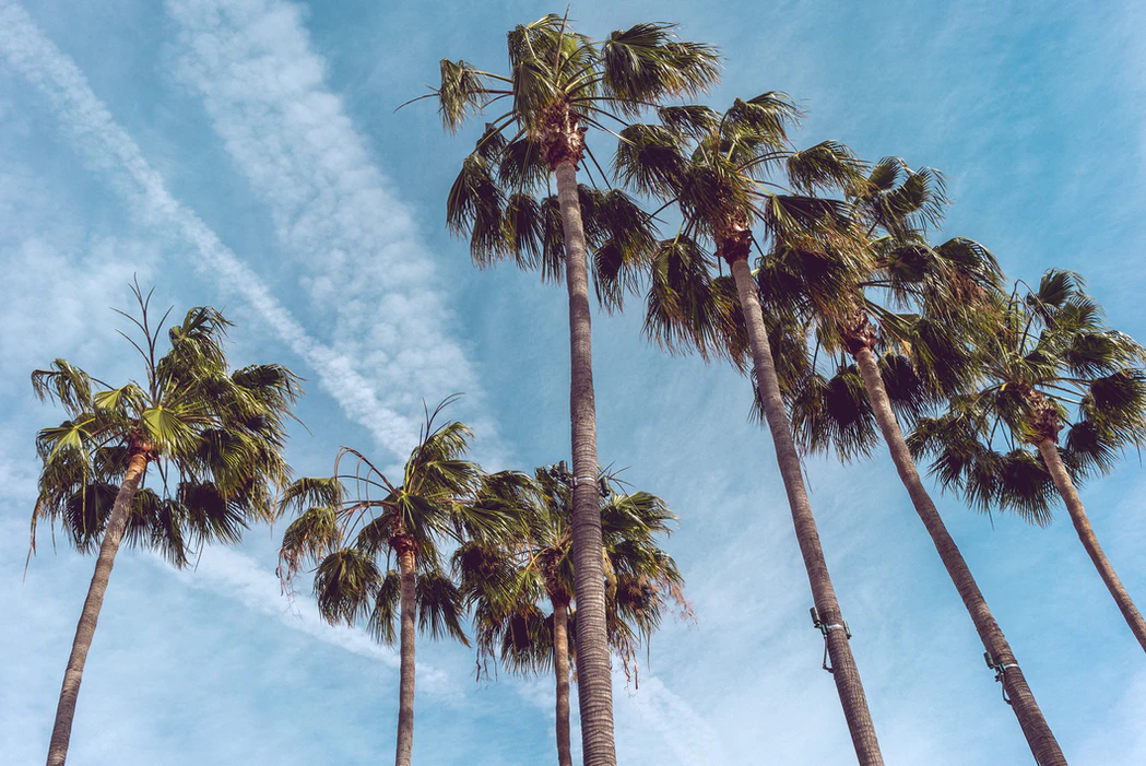 Palm trees in Los Angeles.
