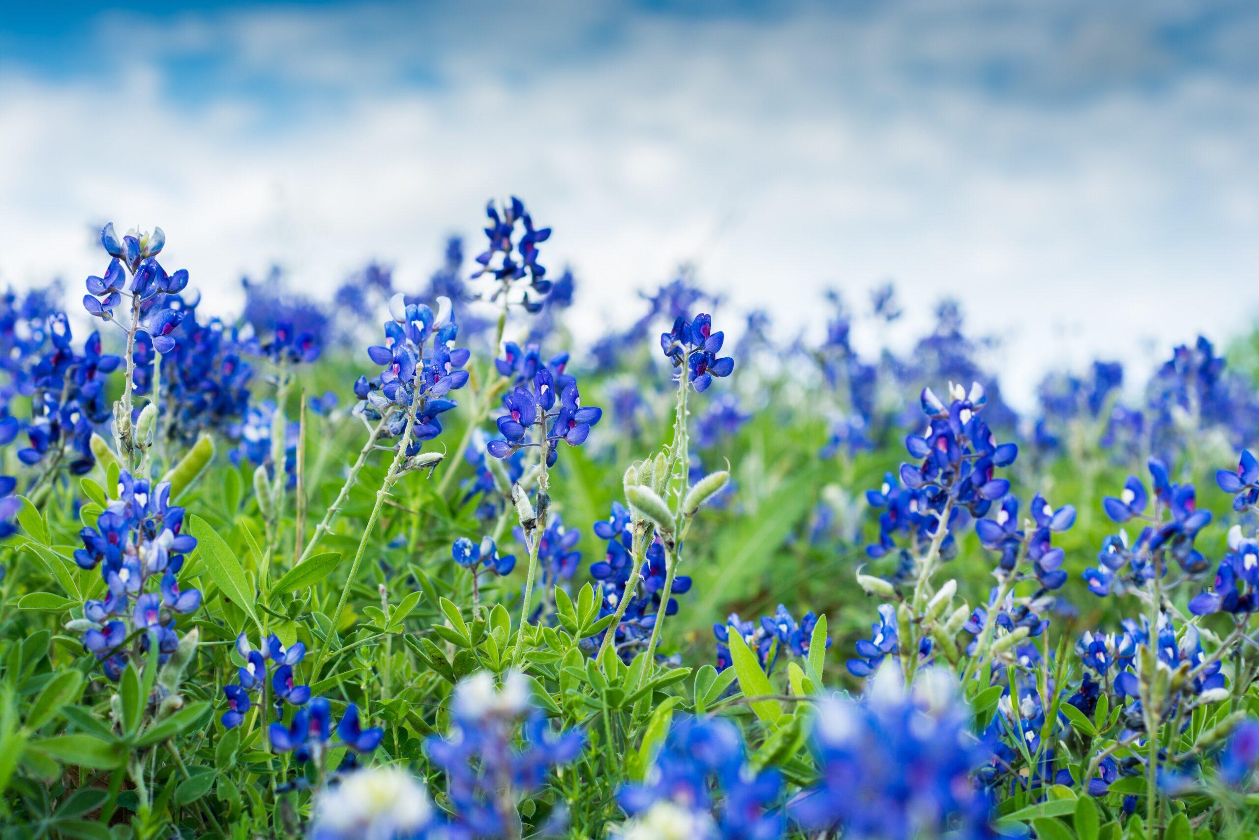 Texas Blue Bonnet Flowers in Addison, Texas