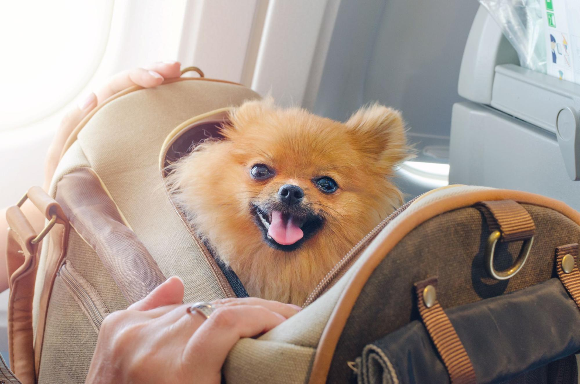 Pomarianian dog being transported in a carrying crate on a plane.