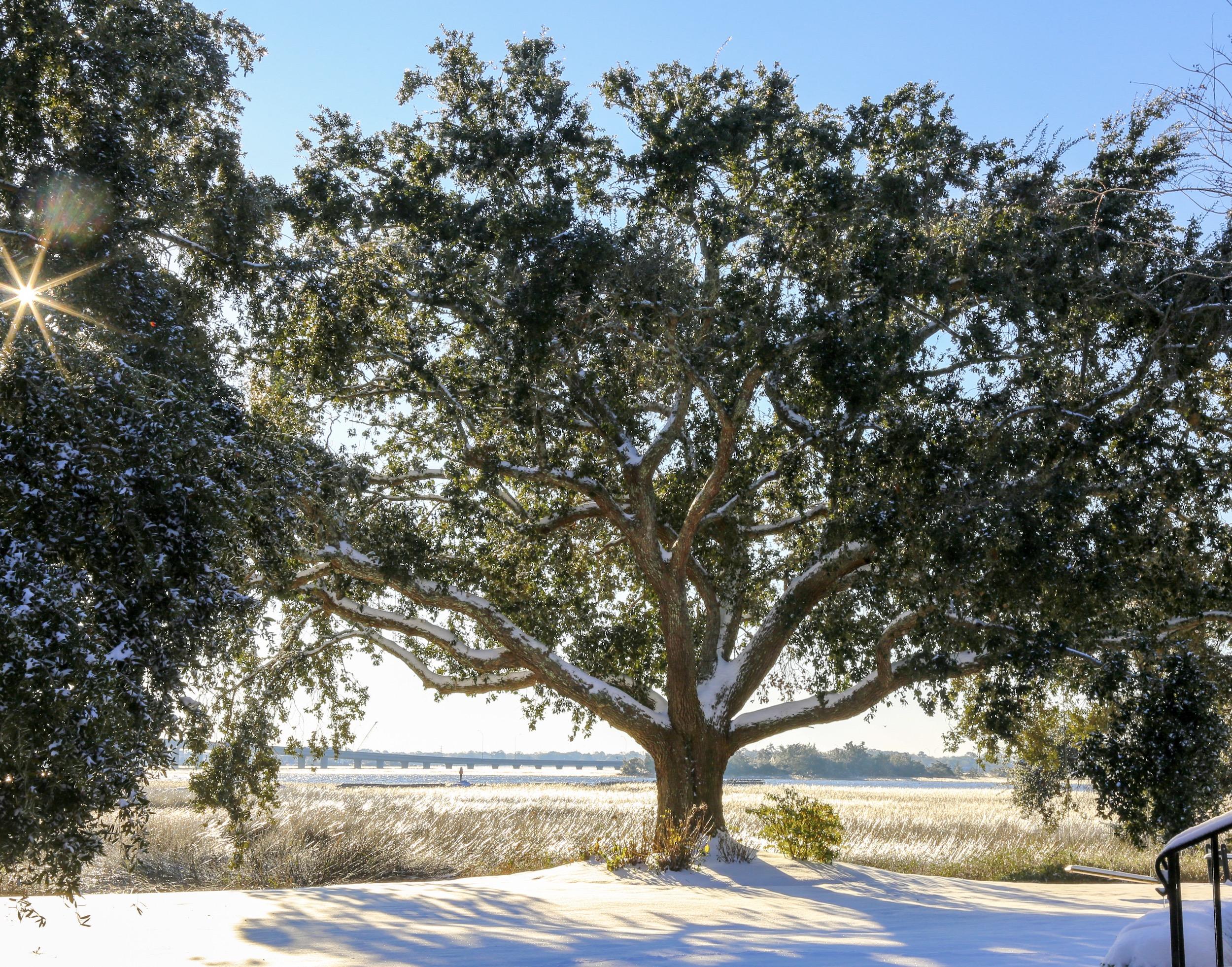 Tree in Charleston